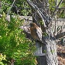 Is that a Redtail Hawk sitting on my birdfeeder? by Laurie Puglia