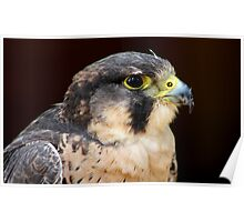 Peregrine x Lanner Falcon Poster