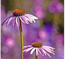 Purple Coneflowers. Photographic Print