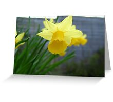 Images of spring - Daffodil Greeting Card