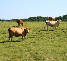 Cows by HALIFAXPHOTO