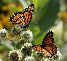 2 Viceroy Butterflies by Gregg Williams