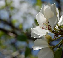 Apple blossoms by back40fotos