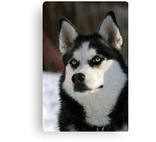 Gorgeous Husky Canvas Print