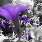Petunias by AcePhotography