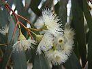 Gumnut Flowers by yolanda