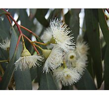 Gumnut Flowers Photographic Print