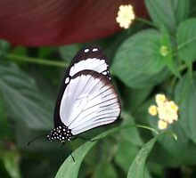 Black and White Butterfly by Emily Sainsbury