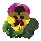 Purple and Yellow Pansy by Susan Savad