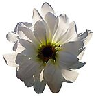 Backlit White Daisy by Susan Savad