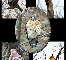Red-Shouldered Hawk by WalnutHill