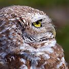 Profile of the Burrowing Owl by Virginia N. Fred