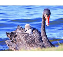 Cygnets Mobile Home  Photographic Print