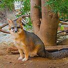Grey Fox by Barbara Manis