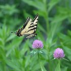 Butterfly on Purple Clover by tdeuel98