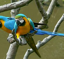 BLUE AND GOLDEN MACAWS by Johan  Nijenhuis