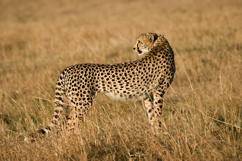Cheetah in Masai Mara by digitaldawn