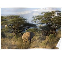 Elephant in Samburu, Kenya Poster