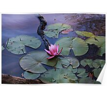 Water Lily in Bloom Poster