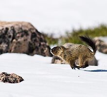 Fleeing Baby Marmot by Jay Ryser