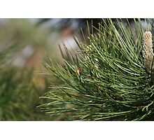 Wasp on a Pine needle Photographic Print