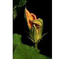 Pumpkin Vine Flower Photographic Print