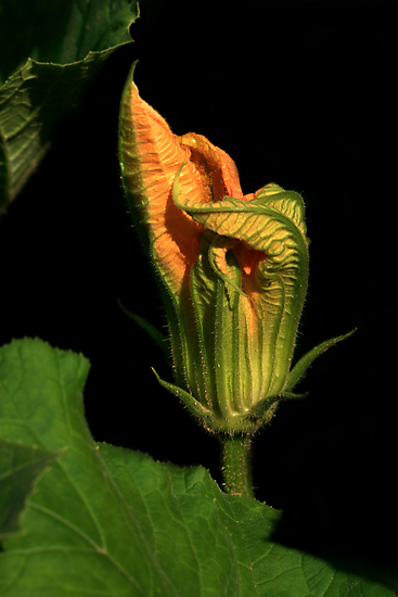 Pumpkin Vine Flower by Holly Cawfield