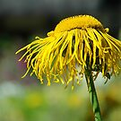 Echinacea by Stephie Butler