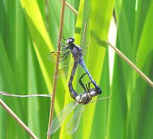 Luck Of The Dragonfly - Dragonflies Mating by FIONA M. HENSHAW