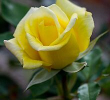 Yellow Rose - Pevensy Park Geelong by forgantly