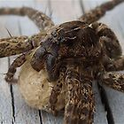 Nursery Web Spider (Egg sac) by main1