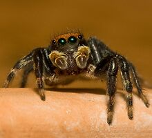 Jumping Spider #1 by Wayne Eddy Photography