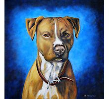'Angel in Blue' - American Staffordshire Terrier Photographic Print
