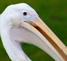 Pelican Portrait by jdmphotography