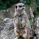 Meerkat by Dfilmuk Photos
