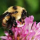 Beautiful HoneyBee by Lynda  McDonald