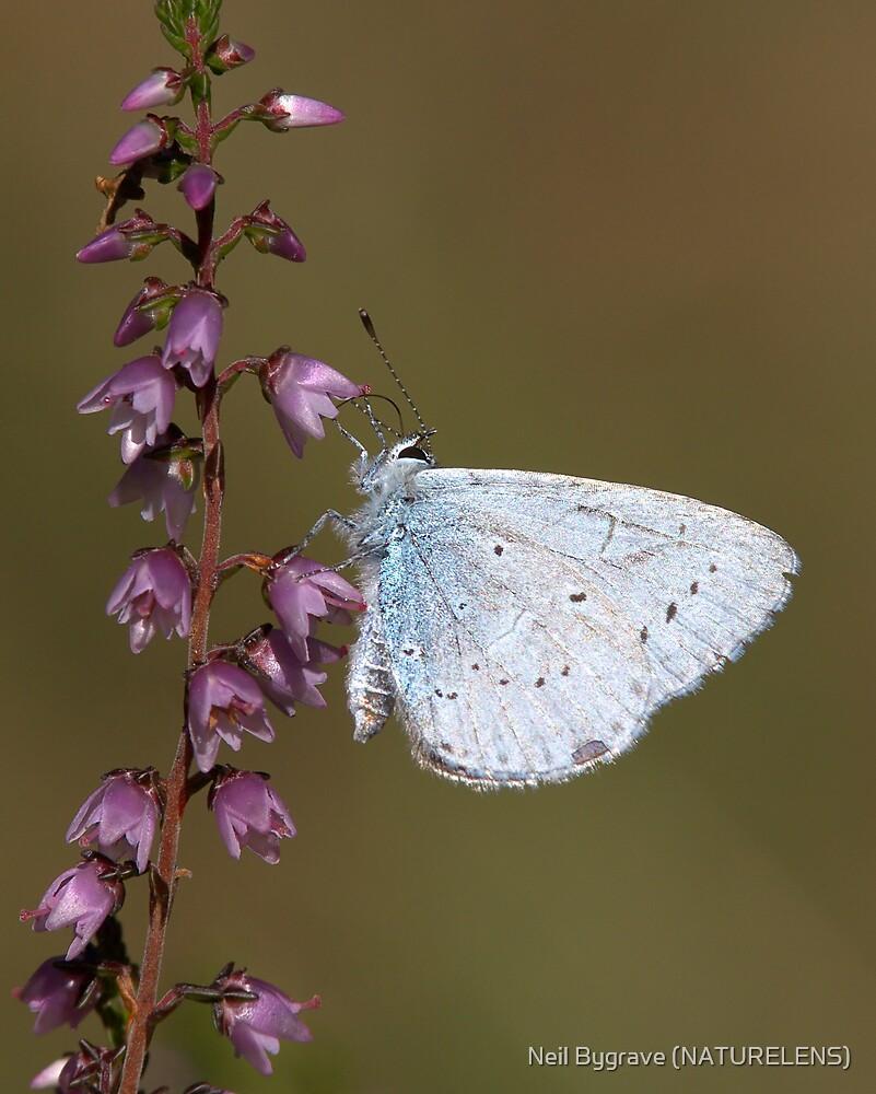 Holly Blue by Neil Bygrave (NATURELENS)