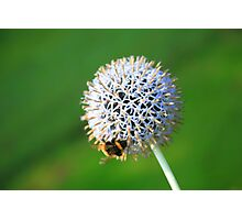 www.lizgarnett.com - Allium with Bumble Bee Photographic Print