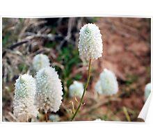 White Pompoms ..native flower series Poster