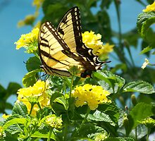 Yellow Swallowtail on Yellow Lantana by Caren