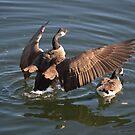 Canada Goose by Jeff Ashworth & Pat DeLeenheer