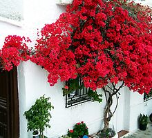 Bougainvillea, Andalucia by Fred Shively