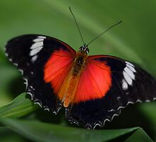 Red butterfly by Stephen Colquitt