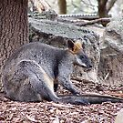 Rock Wallaby by TerraChild