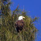 Bald Eagle by Karen Checca