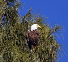 Bald Eagle by Karen Checca