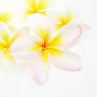 Frangipani Highlights by Donell Trostrud
