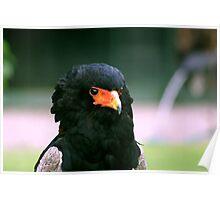 Bateleur Eagle #2 Poster