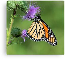 Monarch on a Thistle Canvas Print