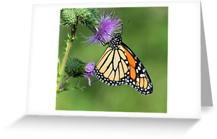Monarch on a Thistle by mikrin